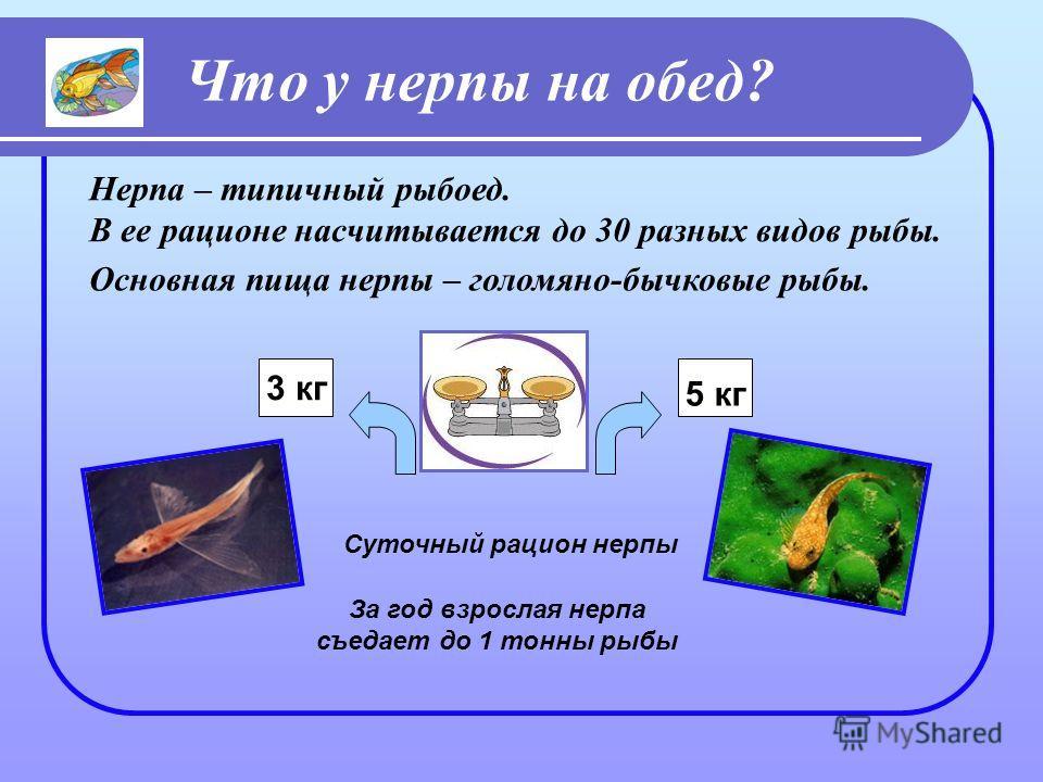Что у нерпы на обед? Основная пища нерпы – голомяно-бычковые рыбы. 3 кг 5 кг Суточный рацион нерпы За год взрослая нерпа съедает до 1 тонны рыбы Нерпа – типичный рыбоед. В ее рационе насчитывается до 30 разных видов рыбы.