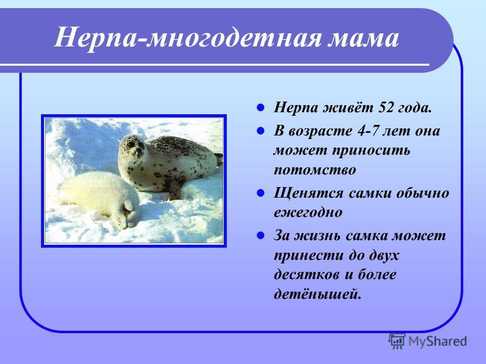 Нерпа-многодетная мама Нерпа живёт 52 года. В возрасте 4-7 лет она может приносить потомство Щенятся самки обычно ежегодно За жизнь самка может принести до двух десятков и более детёнышей.
