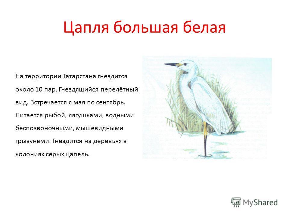 Цапля большая белая На территории Татарстана гнездится около 10 пар. Гнездящийся перелётный вид. Встречается с мая по сентябрь. Питается рыбой, лягушками, водными беспозвоночными, мышевидными грызунами. Гнездится на деревьях в колониях серых цапель.
