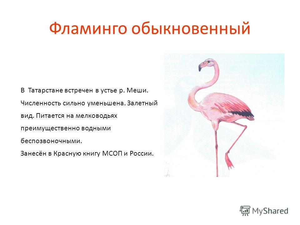 Фламинго обыкновенный В Татарстане встречен в устье р. Меши. Численность сильно уменьшена. Залетный вид. Питается на мелководьях преимущественно водными беспозвоночными. Занесён в Красную книгу МСОП и России.