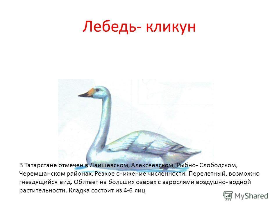 Лебедь- кликун В Татарстане отмечен в Лаишевском, Алексеевском, Рыбно- Слободском, Черемшанском районах. Резкое снижение численности. Перелетный, возможно гнездящийся вид. Обитает на больших озёрах с зарослями воздушно- водной растительности. Кладка