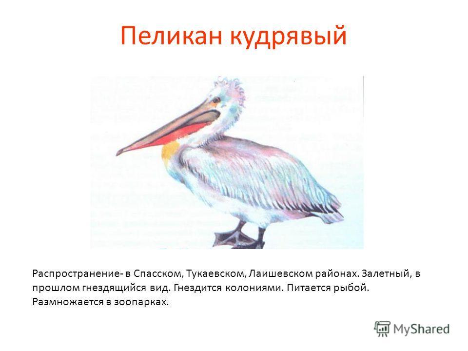 Пеликан кудрявый Распространение- в Спасском, Тукаевском, Лаишевском районах. Залетный, в прошлом гнездящийся вид. Гнездится колониями. Питается рыбой. Размножается в зоопарках.
