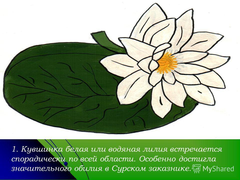 1. Кувшинка белая или водяная лилия встречается спорадически по всей области. Особенно достигла значительного обилия в Сурском заказнике.