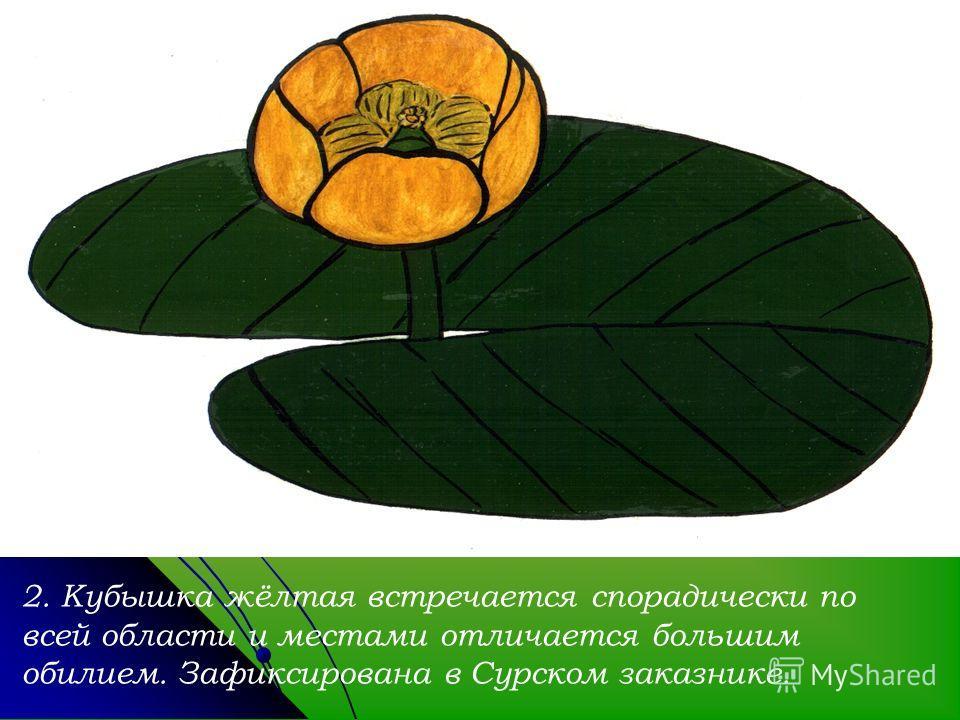 2. Кубышка жёлтая встречается спорадически по всей области и местами отличается большим обилием. Зафиксирована в Сурском заказнике.