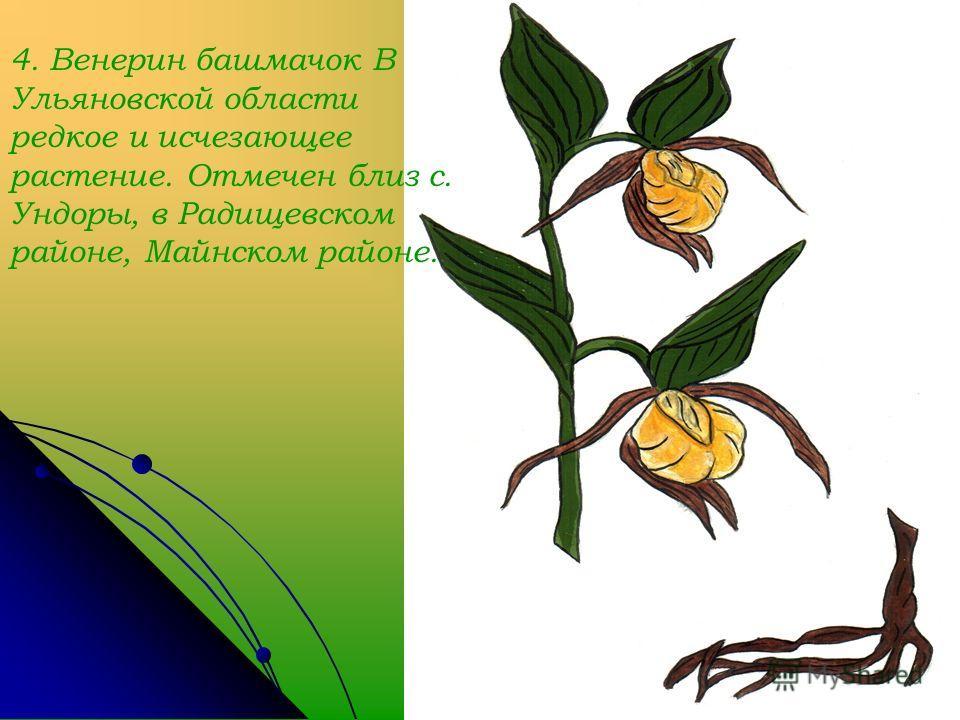 4. Венерин башмачок В Ульяновской области редкое и исчезающее растение. Отмечен близ с. Ундоры, в Радищевском районе, Майнском районе.