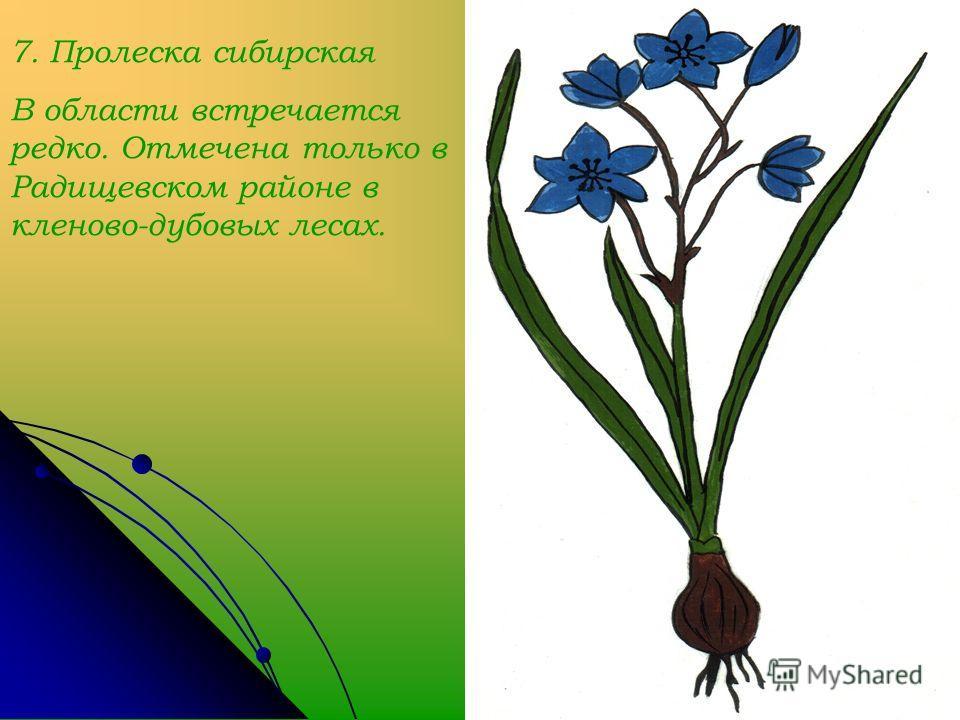 7. Пролеска сибирская В области встречается редко. Отмечена только в Радищевском районе в кленово-дубовых лесах.