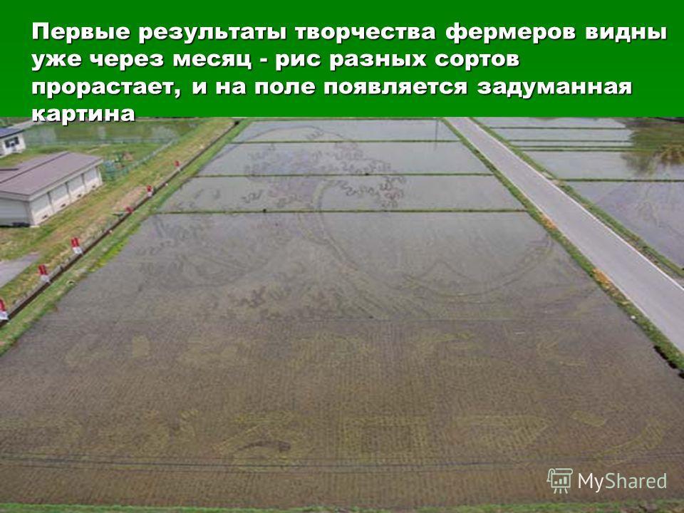 Первые результаты творчества фермеров видны уже через месяц - рис разных сортов прорастает, и на поле появляется задуманная картина