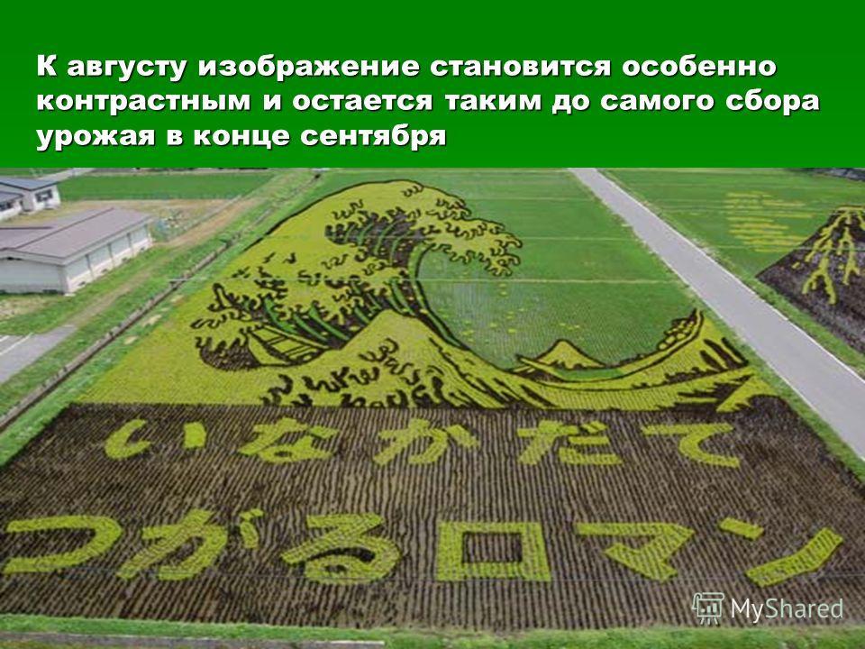 К августу изображение становится особенно контрастным и остается таким до самого сбора урожая в конце сентября