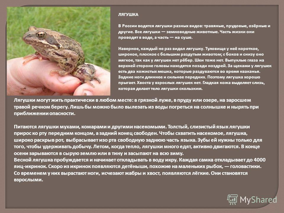 ЛЯГУШКА В России водятся лягушки разных видов: травяные, прудовые, озёрные и другие. Все лягушки земноводные животные. Часть жизни они проводят в воде, а часть на суше. Наверное, каждый не раз видел лягушку. Туловище у неё короткое, широкое, плоское