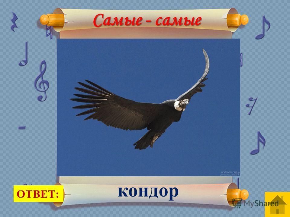 Самая большая птица из всех умеющих летать. У этой птицы размах крыльев может достигать 3 метров. Вес составляет 15 кг. Она может подниматься на большие высоты до 10 километров. Она любит селиться в скалистых местах, где много камней. Там она строит