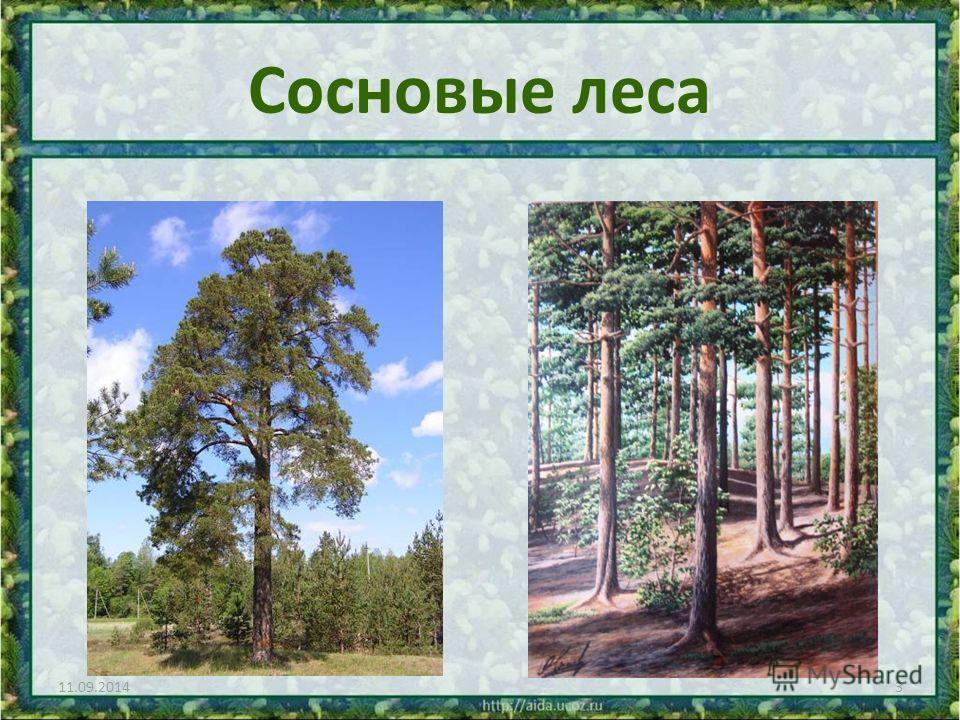 Сосновые леса 11.09.20143