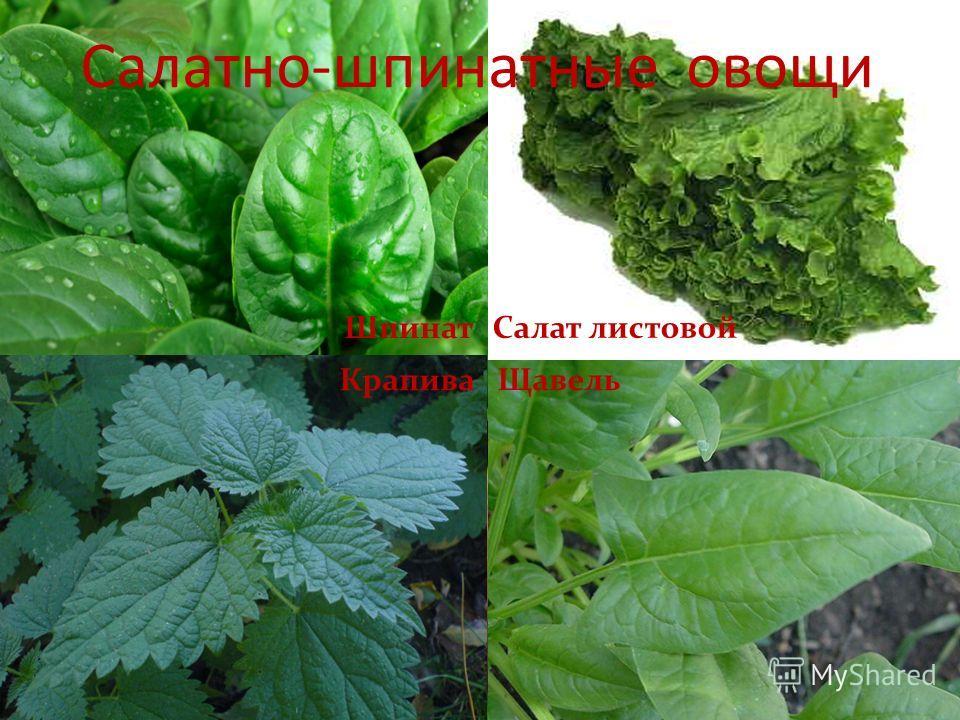 Салат листовой Салатно-шпинатные овощи Крапива Шпинат Щавель