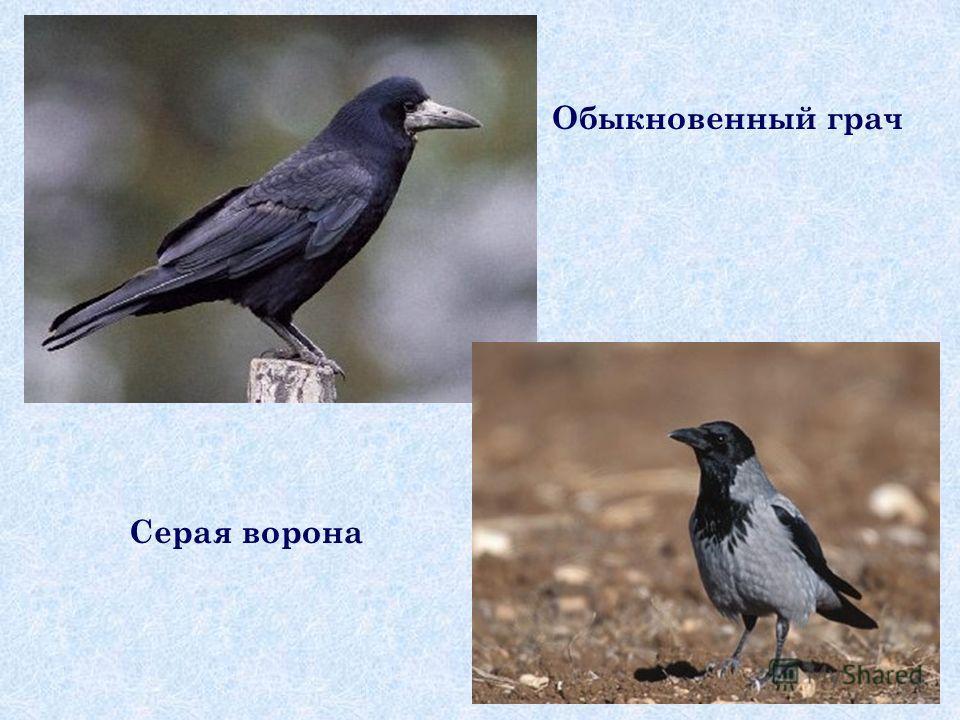 Обыкновенный грач Серая ворона