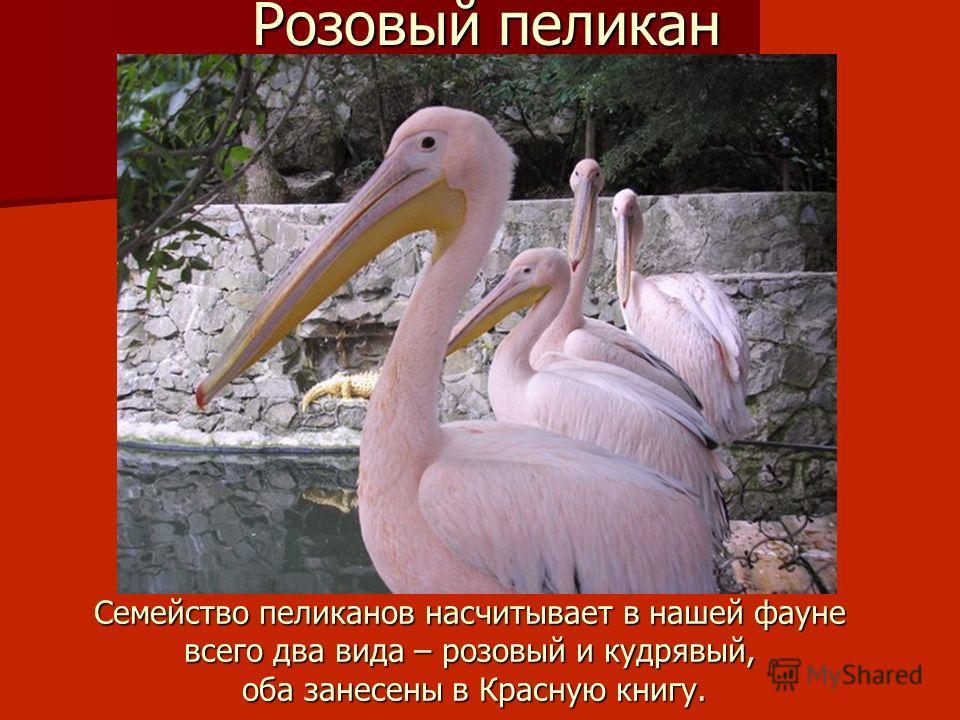 Семейство пеликанов насчитывает в нашей фауне всего два вида – розовый и кудрявый, оба занесены в Красную книгу. Розовый пеликан