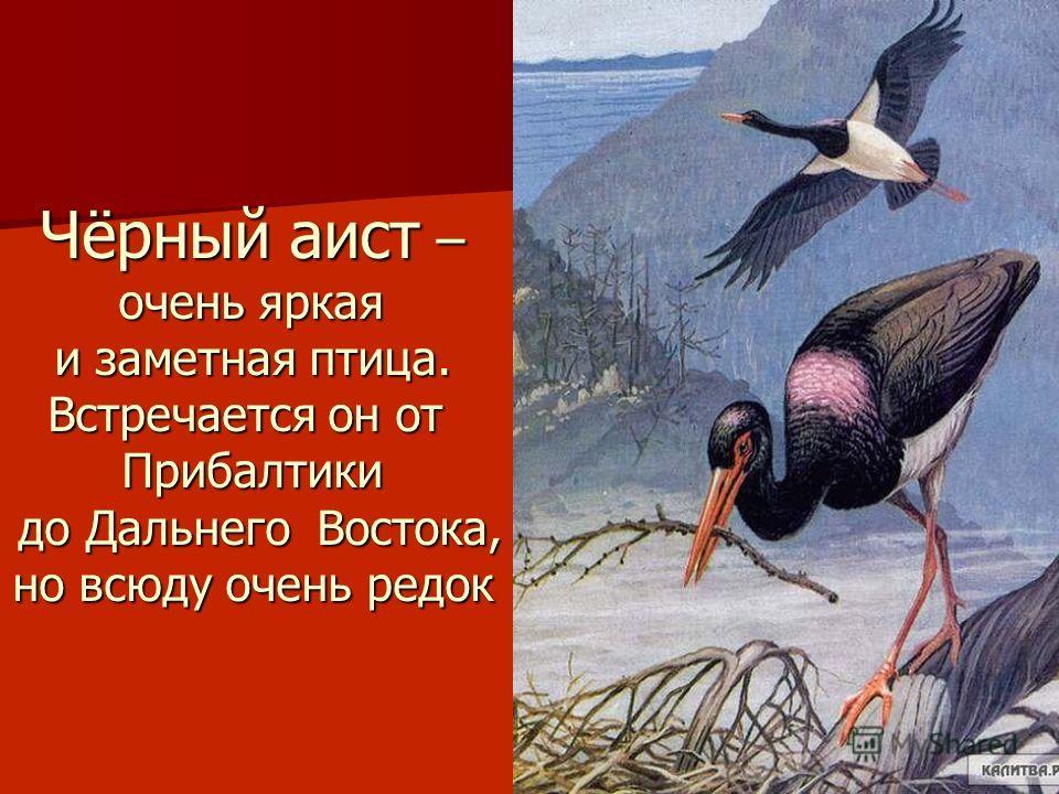 Чёрный аист – очень яркая очень яркая и заметная птица. Встречается он от Прибалтики до Дальнего Востока, до Дальнего Востока, но всюду очень редок