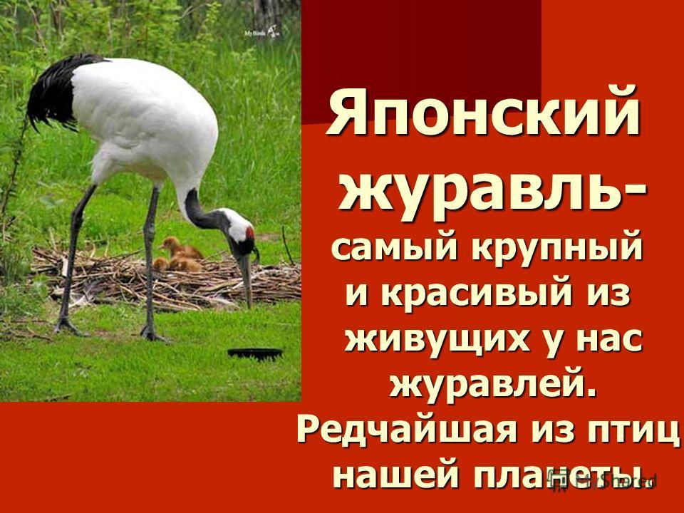 Японскийжуравль- самый крупный и красивый из живущих у нас журавлей. Редчайшая из птиц нашей планеты.