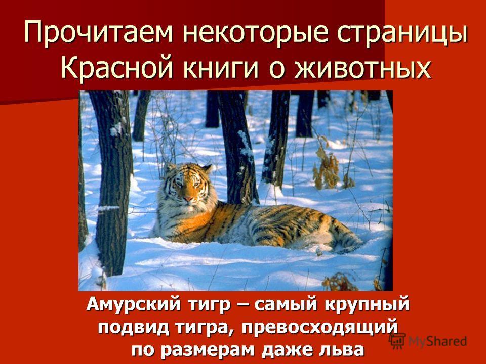 Прочитаем некоторые страницы Красной книги о животных Амурский тигр – самый крупный подвид тигра, превосходящий по размерам даже льва