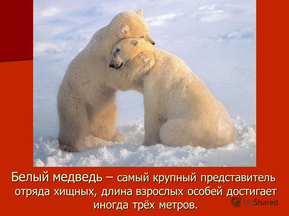 Белый медведь – самый крупный представитель отряда хищных, длина взрослых особей достигает иногда трёх метров.