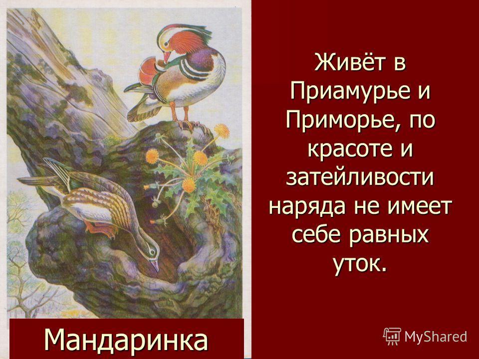Мандаринка Живёт в Приамурье и Приморье, по красоте и затейливости наряда не имеет себе равных уток.