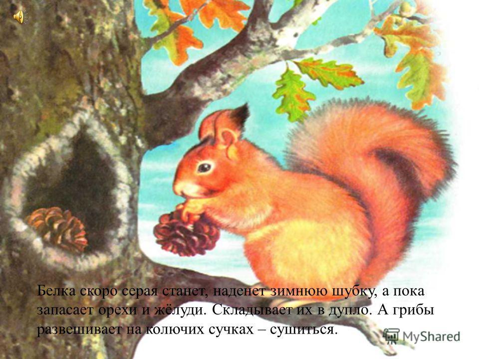 Белка скоро серая станет, наденет зимнюю шубку, а пока запасает орехи и жёлуди. Складывает их в дупло. А грибы развешивает на колючих сучках – сушиться.