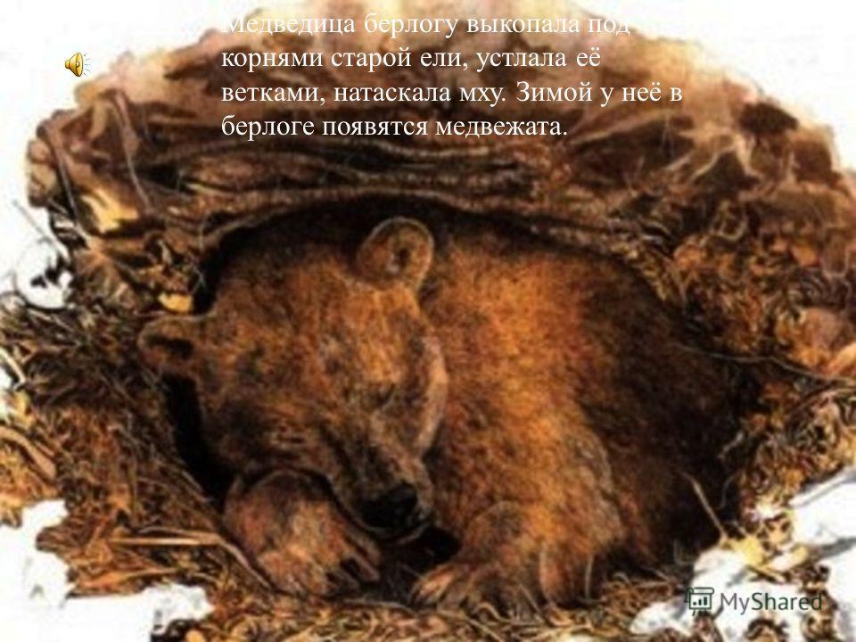 Медведица берлогу выкопала под корнями старой ели, устлала её ветками, натаскала мху. Зимой у неё в берлоге появятся медвежата.