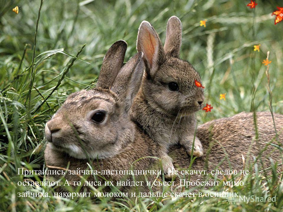 Притаились зайчата-листопаднички. Не скачут, следов не оставляют. А то лиса их найдет и съест. Пробежит мимо зайчиха, накормит молоком и дальше скачет в осинник.