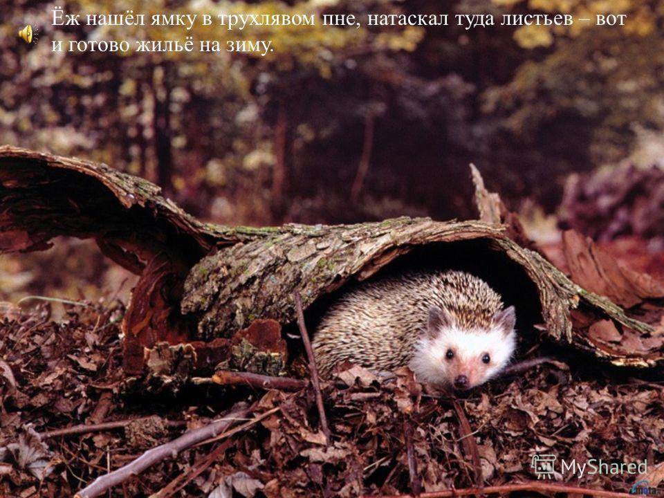 Ёж нашёл ямку в трухлявом пне, натаскал туда листьев – вот и готово жильё на зиму.