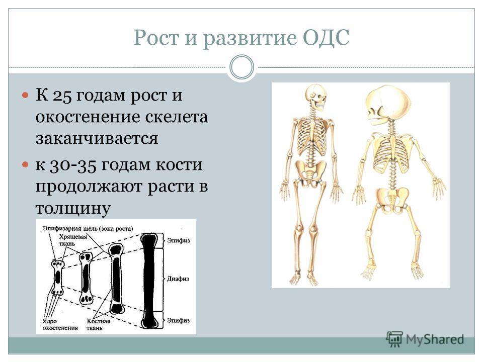 Рост и развитие ОДС К 25 годам рост и окостенение скелета заканчивается к 30-35 годам кости продолжают расти в толщину
