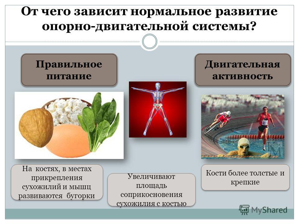 От чего зависит нормальное развитие опорно-двигательной системы? Правильное питание Двигательная активность На костях, в местах прикрепления сухожилий и мышц развиваются бугорки Увеличивают площадь соприкосновения сухожилия с костью Кости более толст