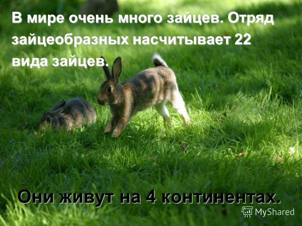 Они живут на 4 континентах. В мире очень много зайцев. Отряд зайцеобразных насчитывает 22 вида зайцев.