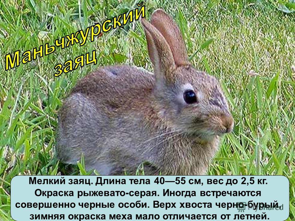 Мелкий заяц. Длина тела 4055 см, вес до 2,5 кг. Окраска рыжевато-серая. Иногда встречаются совершенно черные особи. Верх хвоста черно-бурый, зимняя окраска меха мало отличается от летней.