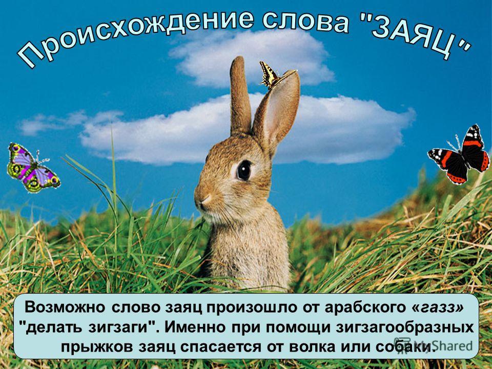 Возможно слово заяц произошло от арабского «газз» делать зигзаги. Именно при помощи зигзагообразных прыжков заяц спасается от волка или собаки.
