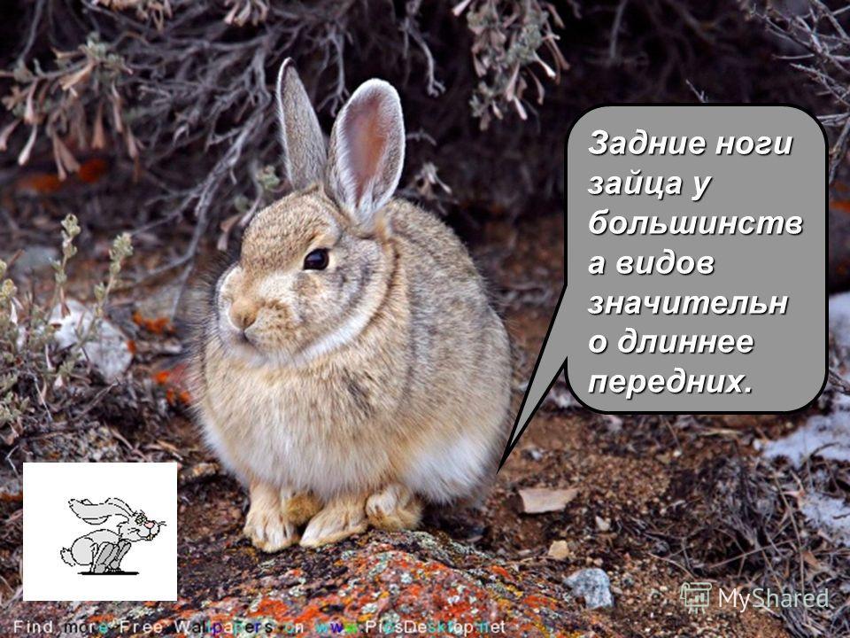 Задние ноги зайца у большинств а видов значительн о длиннее передних.