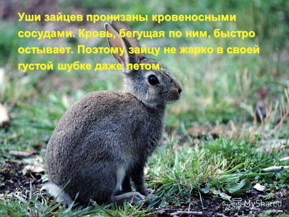 Уши зайцев пронизаны кровеносными сосудами. Кровь, бегущая по ним, быстро остывает. Поэтому зайцу не жарко в своей густой шубке даже летом.
