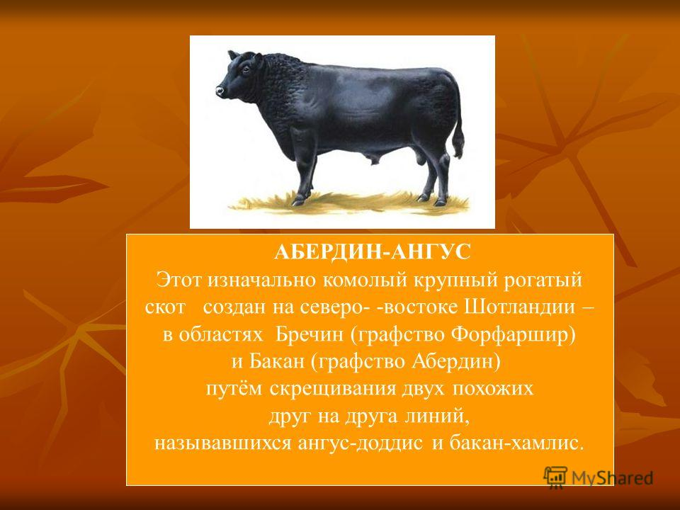 АБЕРДИН-АНГУС Этот изначально комолый крупный рогатый скот создан на северо- -востоке Шотландии – в областях Бречин (графство Форфаршир) и Бакан (графство Абердин) путём скрещивания двух похожих друг на друга линий, называвшихся ангус-доддис и бакан-