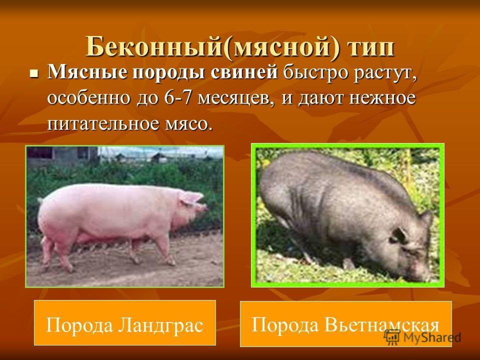 Беконный(мясной) тип Мясные породы свиней быстро растут, особенно до 6-7 месяцев, и дают нежное питательное мясо. Мясные породы свиней быстро растут, особенно до 6-7 месяцев, и дают нежное питательное мясо. Порода Ландграс Порода Вьетнамская
