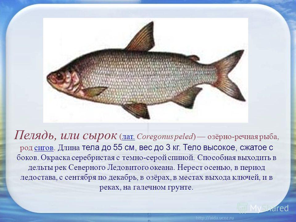 Пелядь, или сырок (лат. Coregonus peled) озёрно-речная рыба, род сигов. Длина тела до 55 см, вес до 3 кг. Тело высокое, сжатое с боков. Окраска серебристая с темно-серой спиной. Способная выходить в дельты рек Северного Ледовитого океана. Нерест осен