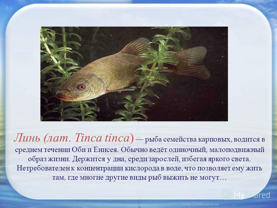 Линь (лат. Tinca tinca) рыба семейства карповых, водится в среднем течении Оби и Енисея. Обычно ведёт одиночный, малоподвижный образ жизни. Держится у дна, среди зарослей, избегая яркого света. Нетребователен к концентрации кислорода в воде, что позв