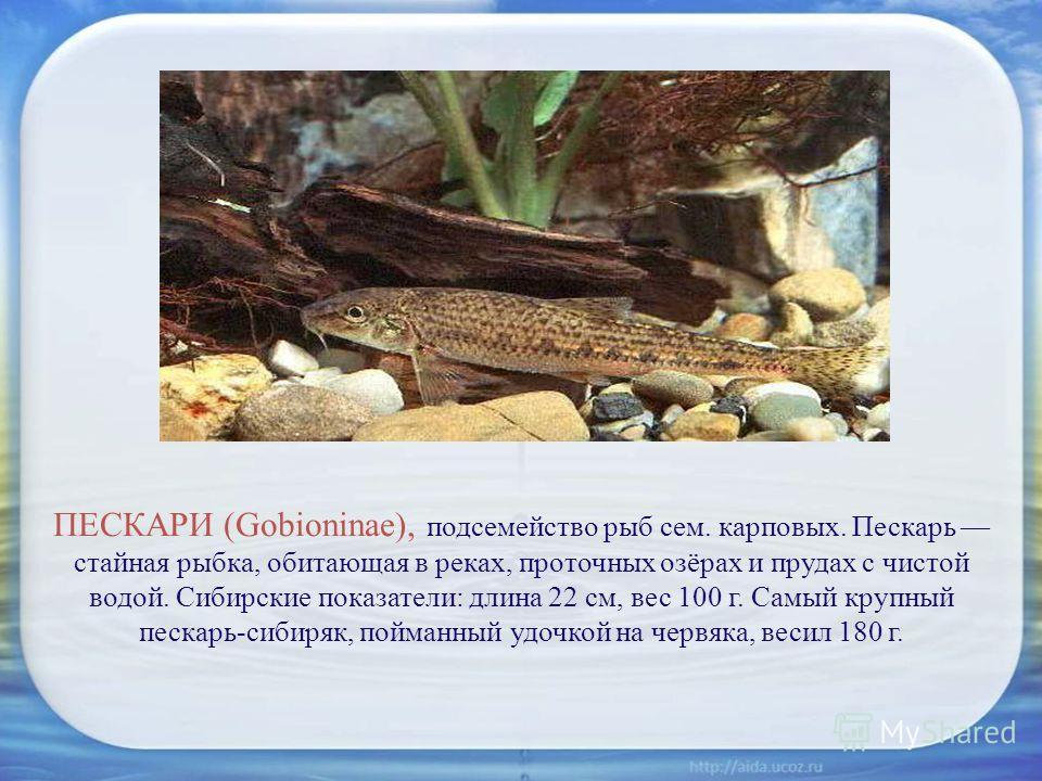 ПЕСКАРИ (Gobioninae), подсемейство рыб сем. карповых. Пескарь стайная рыбка, обитающая в реках, проточных озёрах и прудах с чистой водой. Сибирские показатели: длина 22 см, вес 100 г. Самый крупный пескарь-сибиряк, пойманный удочкой на червяка, весил