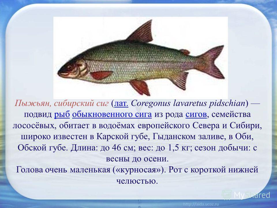 Пыжьян, сибирский сиг (лат. Coregonus lavaretus pidschian) подвид рыб обыкновенного сига из рода сигов, семейства лососёвых, обитает в водоёмах европейского Севера и Сибири, широко известен в Карской губе, Гыданском заливе, в Оби, Обской губе. Длина: