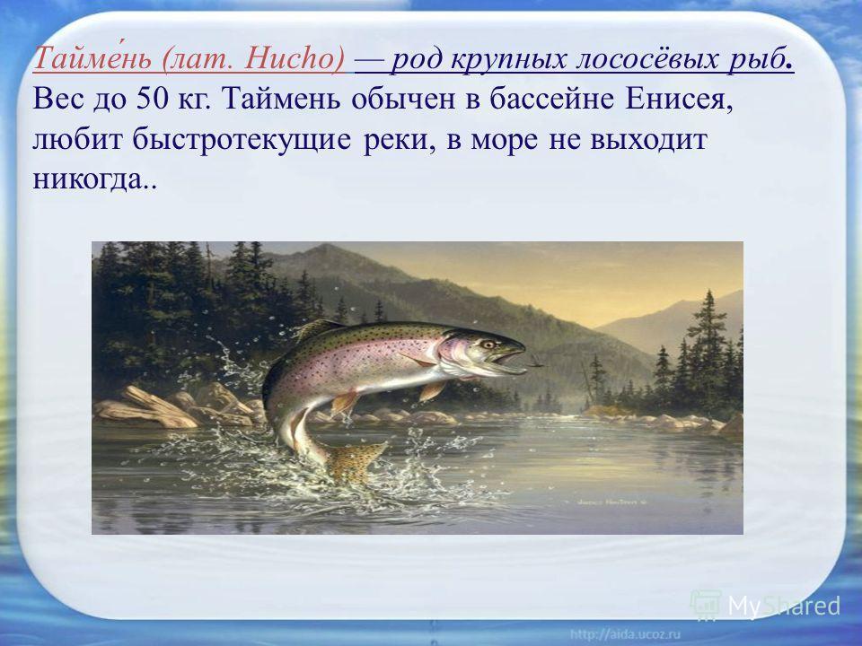 Тайме́нь (лат. Hucho) род крупных лососёвых рыб. Вес до 50 кг. Таймень обычен в бассейне Енисея, любит быстротекущие реки, в море не выходит никогда..