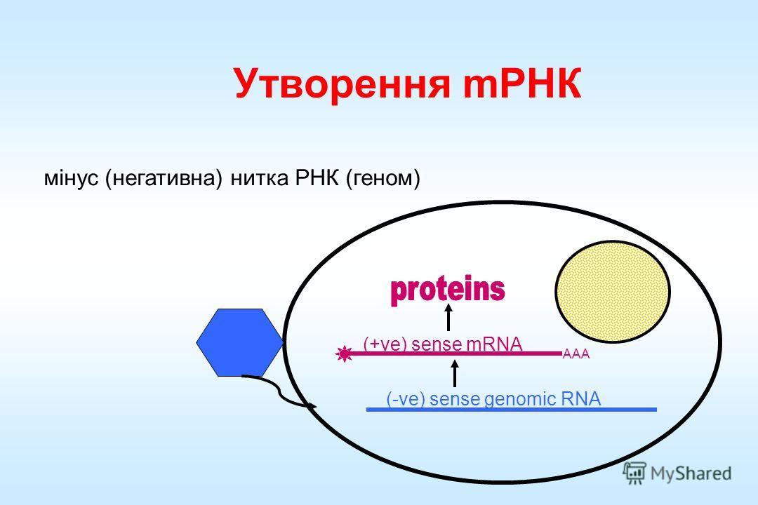 Утворення мРНК мінус (негативна) нитка РНК (геном) AAA (+ve) sense mRNA (-ve) sense genomic RNA