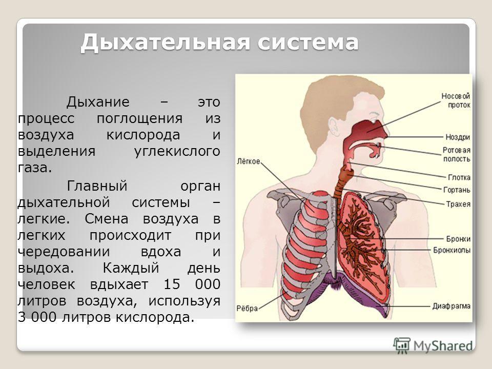 Дыхательная система Дыхание – это процесс поглощения из воздуха кислорода и выделения углекислого газа. Главный орган дыхательной системы – легкие. Смена воздуха в легких происходит при чередовании вдоха и выдоха. Каждый день человек вдыхает 15 000 л