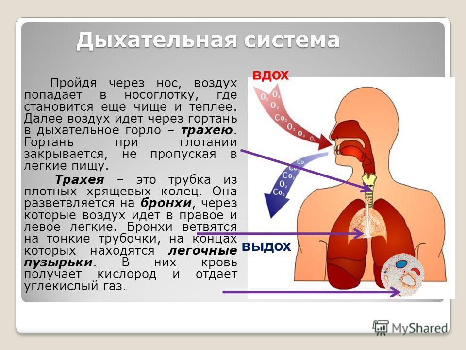Дыхательная система Пройдя через нос, воздух попадает в носоглотку, где становится еще чище и теплее. Далее воздух идет через гортань в дыхательное горло – трахею. Гортань при глотании закрывается, не пропуская в легкие пищу. Трахея – это трубка из п