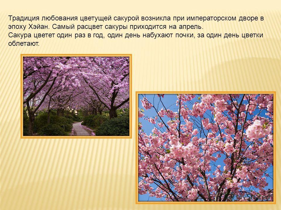 Традиция любования цветущей сакурой возникла при императорском дворе в эпоху Хэйан. Самый расцвет сакуры приходится на апрель. Сакура цветет один раз в год, один день набухают почки, за один день цветки облетают.