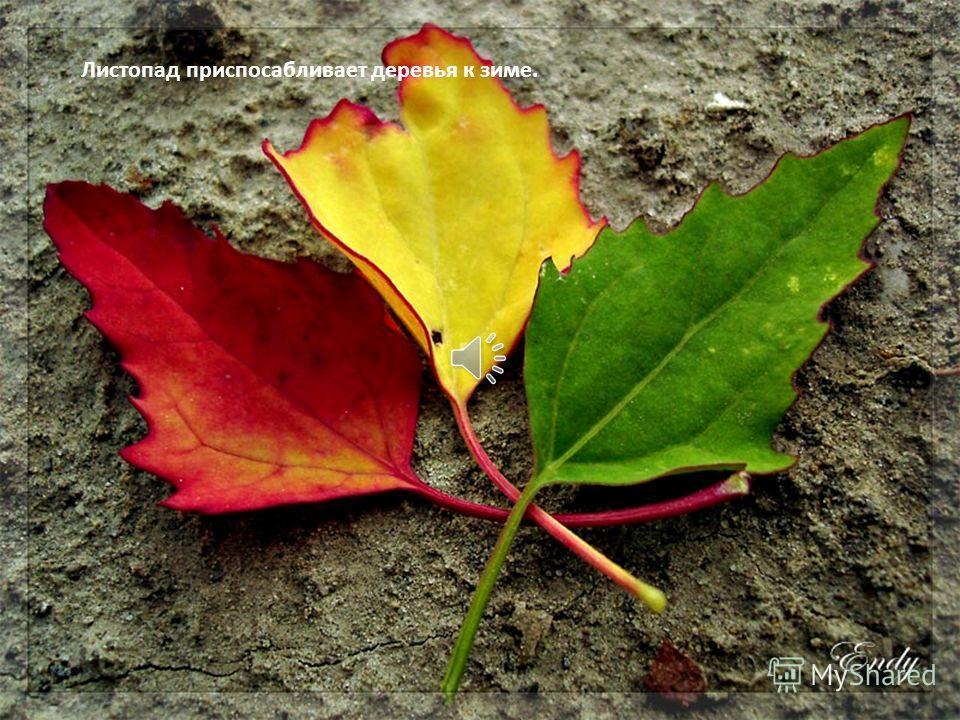 Есть и третья причина для листопада. Он защищает тонкие, хрупкие ветви дерева от тяжести снега.