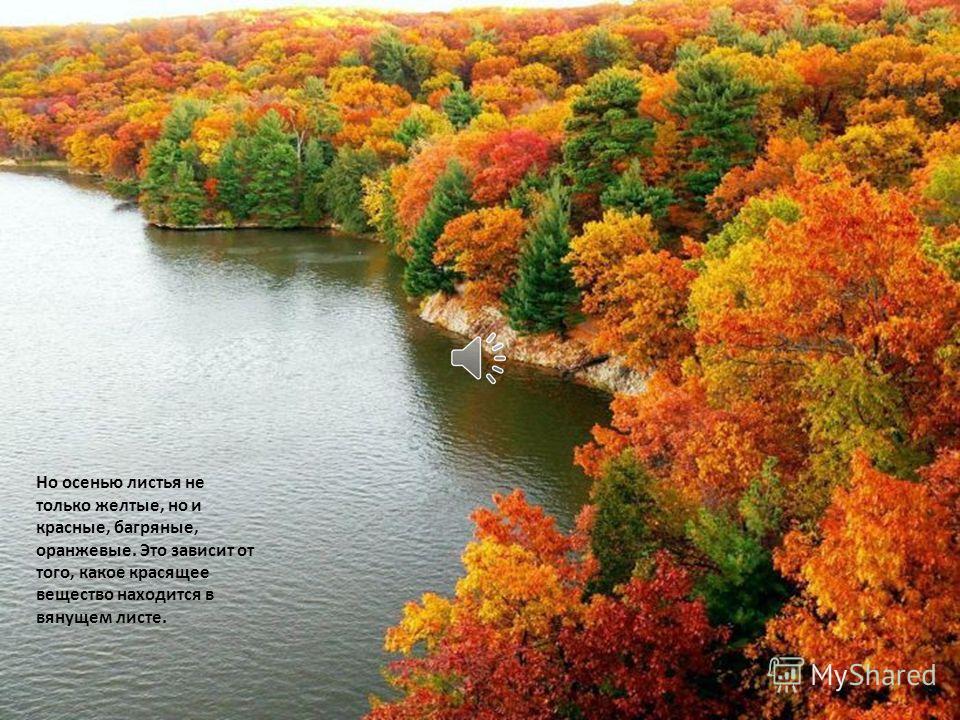 А осенью удлиняются ночи. Солнышко меньше светит и хлорофилл разрушается. Зеленый цвет в листьях убывает, а желтый становится заметней.