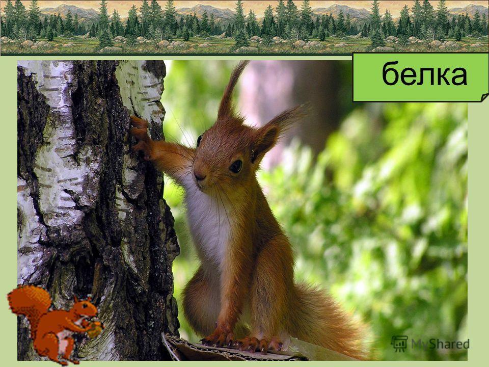 БЕЛКА Наверное, многие видели белку - рыжего зверька с большим пушистым хвостом. Белка смело прыгает с ветки на ветку, с одного дерева на другое. Белка очень любит орешки и семена сосновых и еловых шишек. Она ловко распотрошит шишку, достанет из неё