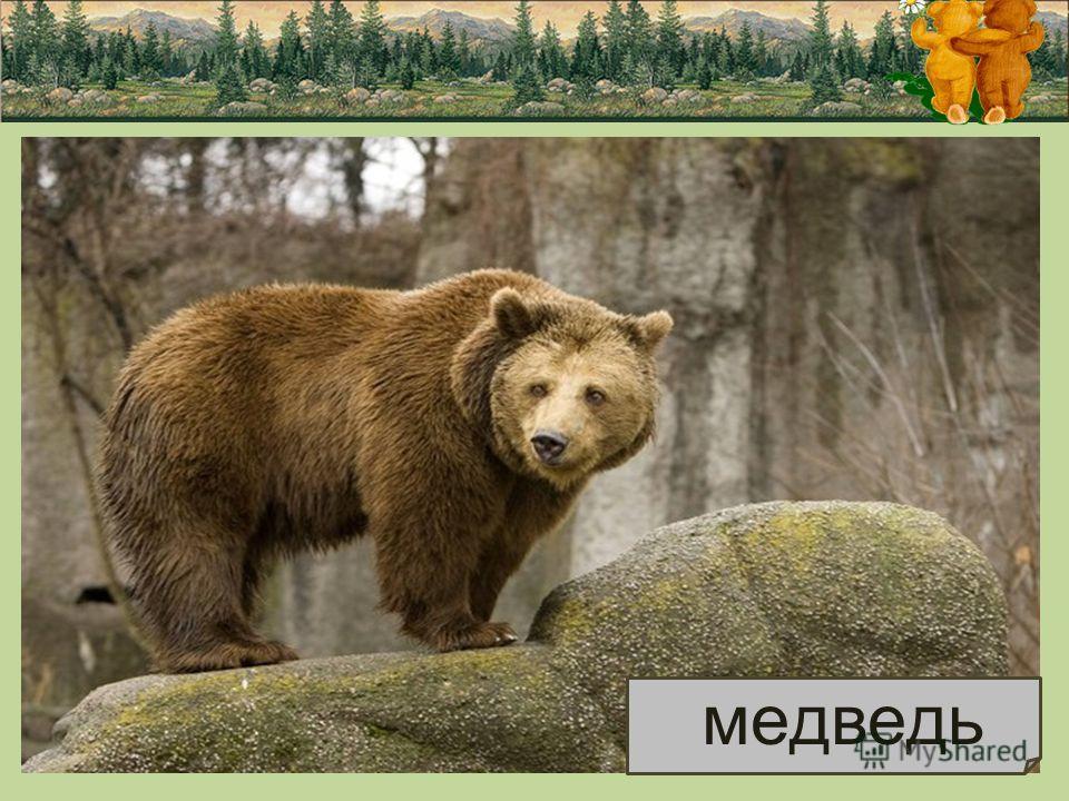 МЕДВЕДЬ Медведь живет в лесу, он большой и сильный. Густая теплая шуба темно - коричневого, бурого цвета. Он герой многих сказок, в которых его величают то Михаилом Иванычем, то топтыгиным, то косолапым. Бурый медведь - сильное и очень ловкое животно