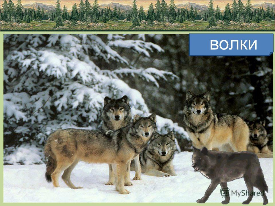 ВОЛК Серый волк - герой многих сказок. Волк крупнее собаки и свой хвост никогда не закручивает